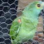 From the Nest to Cells…the gist of a 'super obedient' PARROT who got ARRESTED for alerting his owner (a drug dealer) during a Police raid in Brazil